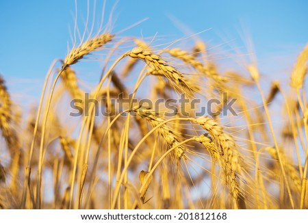 Ears on field. Agricultural composition - stock photo