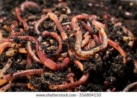 Earthworms (Dendrobena Veneta) for Fishing or Compost - stock photo
