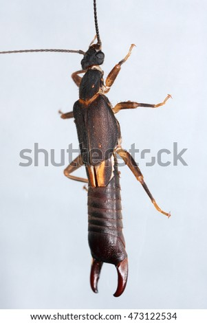 Earwig in nature. Humid equatorial forest in the area of Los Tuxtlas (Estation de biologia) in Mexico. Dermaptera.