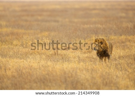 East Africa safari lions Serengeti - stock photo