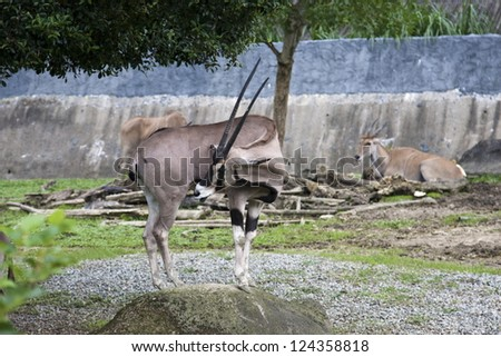 East African Oryx in nautural habitat in summer,Oryx beisa - stock photo