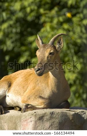 East caucasian tur, female, latin name Carpa cylindricornis. - stock photo