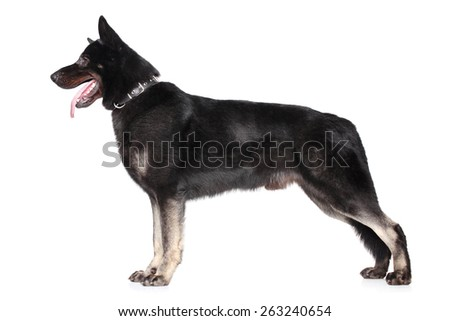 East European shepherd in stand on a white background
