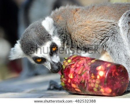 East Sussex, UK. 13th September 2016: Ring-tailed and black lemurs at Drusillas Zoo, Alfriston, get fruit and veg ice lollies to help them keep cool in the unseasonably warm weather.