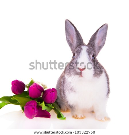Easter baby rabbit, tulips and eggs isolated on white background. Estrer concept. Little grey rabbit.