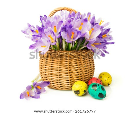 Easter. Crocuses in a basket and colored eggs isolated on white