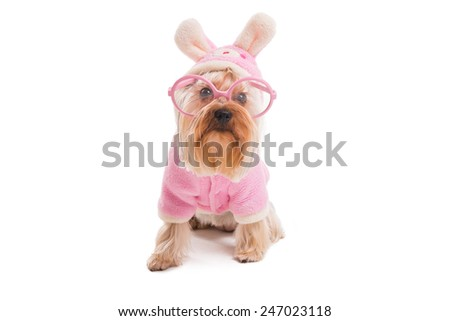 Easter dog. Cute Yorkshire terrier in pink clothes and rabbit costume looking at camera while being isolated on white background