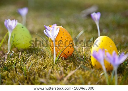 Easter eggs with crocus