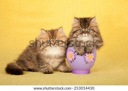 Easter Golden Chinchilla Persian kittens with large purple easter egg on yellow background   - stock photo