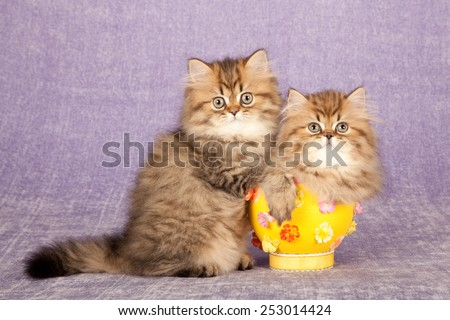 Easter Golden Persian Chinchilla kittens with yellow Easter egg on light purple lilac background   - stock photo