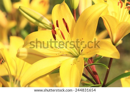Easter Lily,Longflower Lily,closeup of yellow lily flower in full bloom  - stock photo