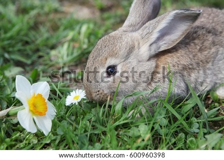 easter rabbit with narcissous