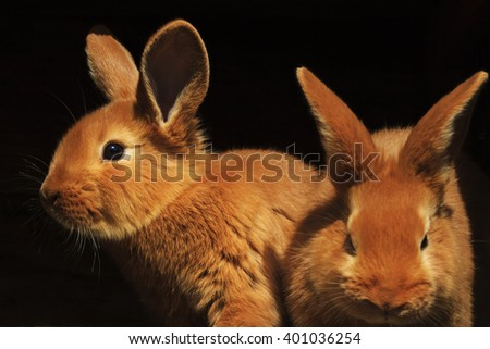 Easter rabbits on a black background, isolated, red color, beautiful animals - stock photo