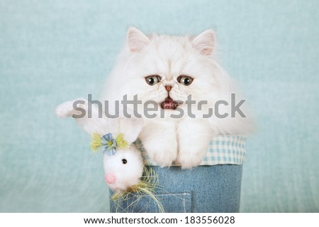 Easter theme laughing talking Silver Chinchilla kitten in denim tube container with fluffy Easter bunny on light blue green background  - stock photo
