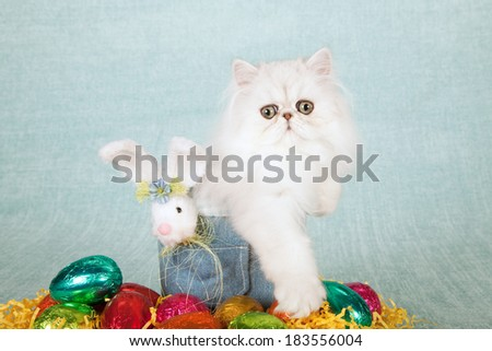 Easter theme Silver Chinchilla kitten in denim tube container with Easter eggs fluffy Easter bunny on light blue green background  - stock photo