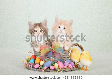 Easter themed Norwegian Forest Cat kittens sitting inside large woven cup and saucer with Easter eggs, fluffy Easter chicks and colorful ribbon and bow on light green background  - stock photo