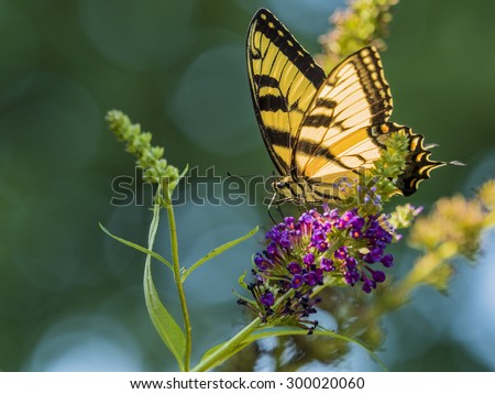 Easter tiger swallowtail butterfly on flower of butterfly bush. - stock photo