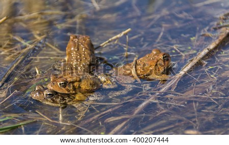 Eastern American Toads Mating/A cluster of Eastern American Toads (Anaxyrus Americanus) mating. - stock photo
