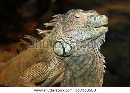 Eastern Bearded Dragons are native to Australia - stock photo