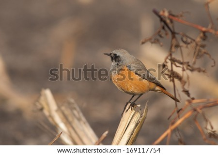 Eastern Black Redstart sitting on a branch