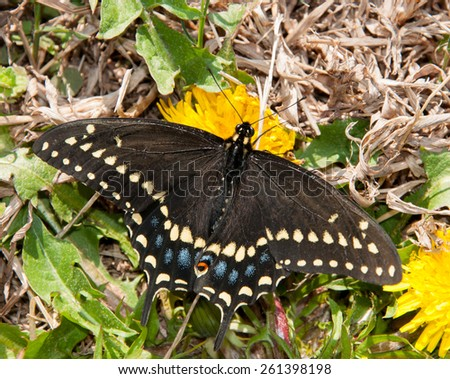 Eastern Black Swallowtail butterfly feeding on an early spring Dandelion - stock photo