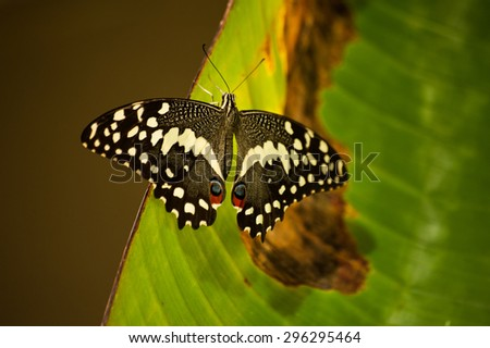 Eastern Black Swallowtail Butterfly seating on leaf - stock photo