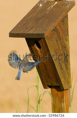 Eastern Bluebird entering nest box with nesting material.