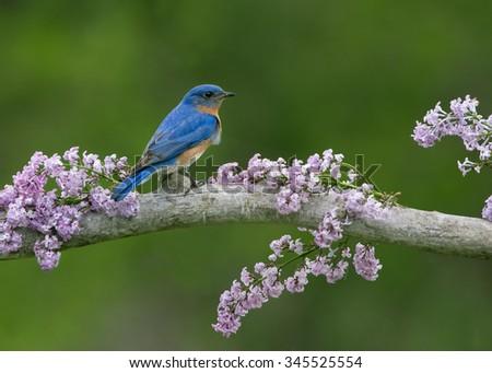 Eastern Bluebird in Lilacs - stock photo