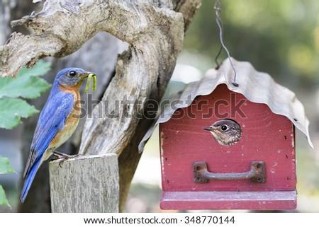 Eastern Bluebird Nesting Activity - stock photo