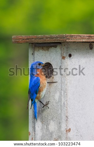 Eastern bluebird peers into a nesting box looking for a suitable home. Brilliant blue feathers mixed with his reddish orange colored breast stand out against the forest greens. - stock photo