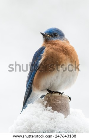 Eastern Bluebird perched in the snow - stock photo