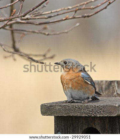 Eastern bluebird perched on a bird house - stock photo
