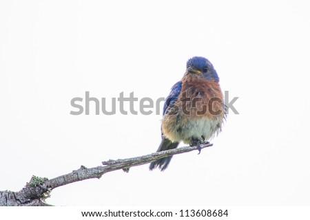 Eastern Bluebird (Sialia sialis) isolated on White Background - stock photo