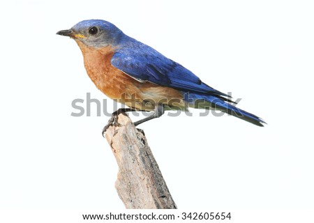 Eastern Bluebird (Sialia sialis) on a perch - Isolated on a white background - stock photo