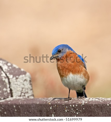 Eastern bluebird, Sialia sialis, perched on a fence - stock photo