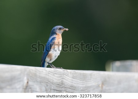 Eastern bluebird (sialia sialis) perched on a wooden fence, isolated against muted green background - stock photo