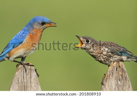 Eastern Bluebird (Sialia sialis) with a baby on a fence - stock photo
