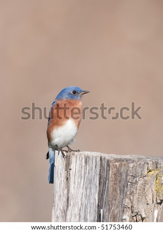 Eastern bluebird sits perched on a wooden post