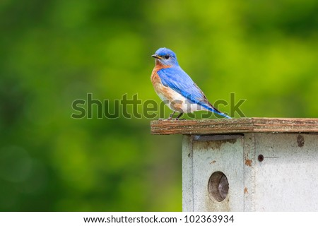 Eastern bluebird stands on top of nesting box looking for his mate. Brilliant blue feathers mixed with his reddish orange colored breast stand out against the forest greens.