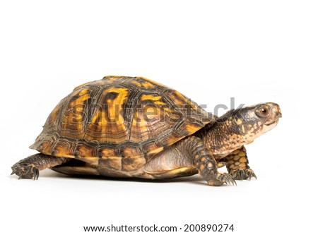 Eastern box turtle on white background - stock photo