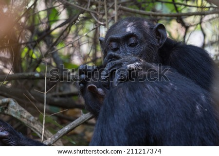 Eastern chimpanzee carefully grooming the head of another chimp in natural habitat - stock photo