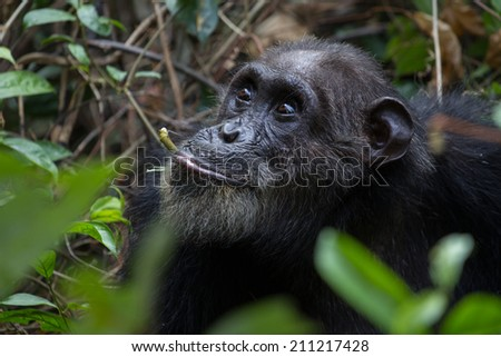 Eastern chimpanzee feeding on vines in the forest