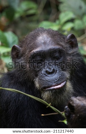 Eastern chimpanzee feeding on vines in the forest - stock photo