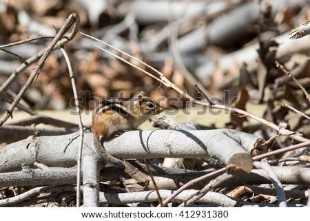 Eastern Chipmunk - stock photo