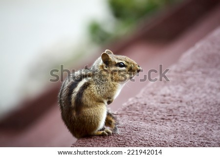 Eastern Chipmunk posed on a deck - stock photo
