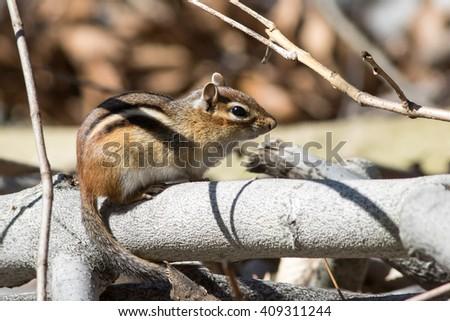 Eastern Chipmunk, Tamias striatus - stock photo