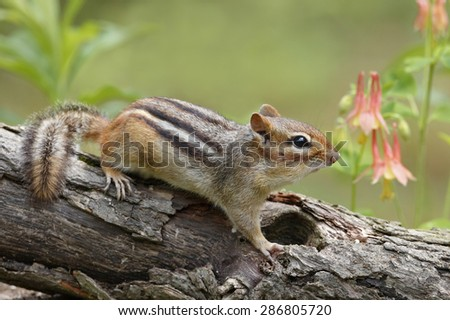 Eastern chipmunk (Tamias striatus) on a log next to a patch of Wild Columbine (Aquilegia canadensis) - Pinery Provincial Park, Ontario, Canada - stock photo