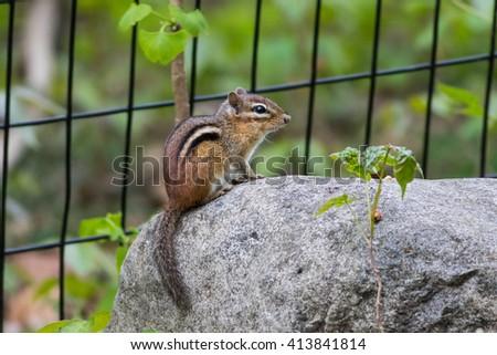 Eastern Chipmunk,  Tamias striatus, ron boulder - stock photo