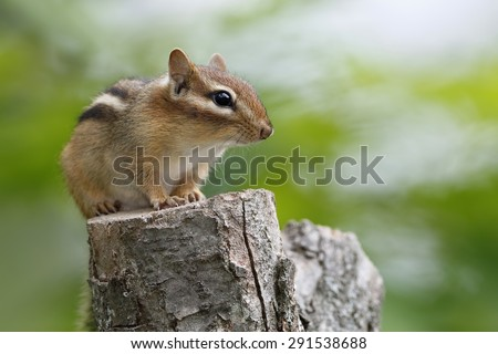 Eastern Chipmunk (Tamias striatus) sitting on a tree stump - Ontario, Canada - stock photo