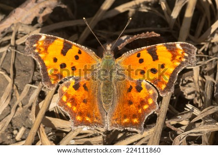 Eastern Comma Butterfly perched on the muddy ground. - stock photo